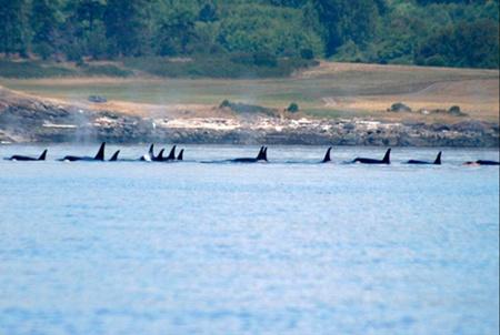 วาฬเพชฌฆาต สัตว์สังคมที่มีพฤติกรรมซับซ้อน (ภาพประกอบจาก NOAA)
