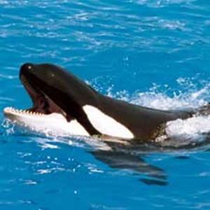 พละกำลังที่มหาศาลของวาฬเพชฌฆาต อาจพิฆาตมนุษย์ที่มันหยอกล้อเล่นด้วยได้ง่ายๆ (ภาพประกอบจาก Scientific American)