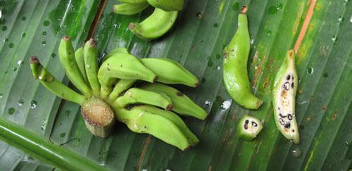 ผลกล้วยที่มีเมล็ด (มหิดล)