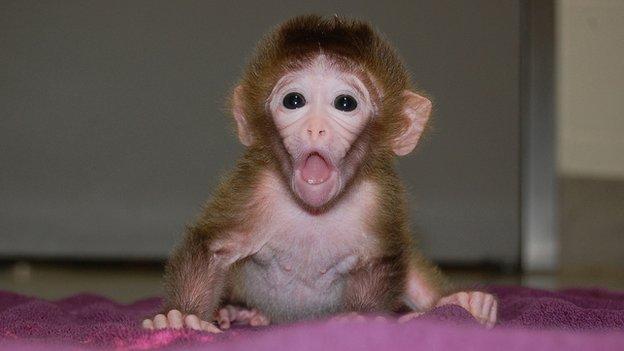 ลิงไคเมราที่เกิดจากเซลล์ตัวอ่อนผสมเกิดมาโดยมีสภาพร่างกายที่ดูเป็นปกติและไม่มีอาการของโรคใดๆ (ภาพทั้งหมดจากบีบีซีนิวส์)