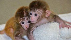 การศึกษาในลิงเหล่านี้จะนำไปสู่การรักษาโรคต่างๆ ในมนุษย์