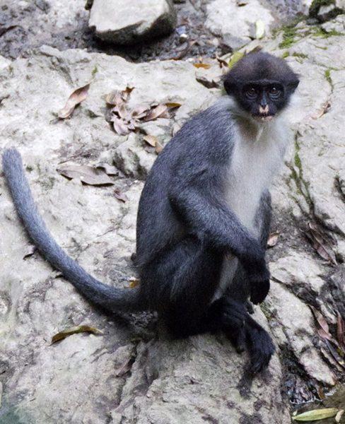 ภาพค่างสีเทามิลเลอร์ ในป่าวีเฮีย ซึ่งก่อนหน้าส่วนใหญ่เริ่มเชื่อว่าสูญพันธุ์ไปแล้ว (เอพี)