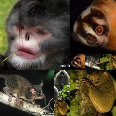 สัตว์ตระกูลไพรเมท ซึ่งมีสายวิวัฒนาการที่ใกล้ชิดกับคนเหล่านี้ กำลังจะสูญพันธุ์จากโลกโดยที่เรายังไม่รู้จักพวกเขาดีพอ