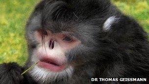 ลิงจมูกเชิดพม่า