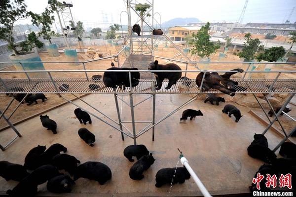 หมีเลี้ยงในฟาร์มกุยเจินถัง เมืองฮุ่ยอัน มณฑลฝูเจี้ยน วันที่ 22 ก.พ.