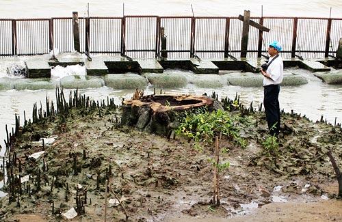 ต้นลำพูต้นสุดท้ายของบางลำพู ที่วันนี้เหลือแต่ตอ