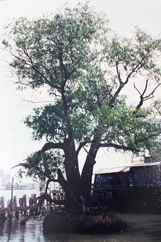 ภาพต้นลำพูในอดีตก่อนจะสร้างสวนสันติชัยปราการ (ภาพ : สมปอง ดวงไสว)