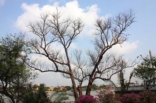 กิ่งก้านของต้นลำพูเริ่มแห้งและร่วงโรยหลังจากน้ำท่วมใหญ่ปี 2554 (ภาพ : สมปอง ดวงไสว)