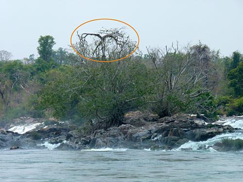 ต้นมณีโคตร เมื่อครั้งยังมีชีวิตอยู่กลางคอนพะเพ็ง