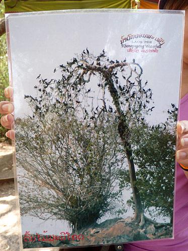 รูปถ่ายต้นมณีโคตรที่เด็กๆ นำมาขายเป็นของที่ระลึกที่น้ำตกคอนพะเพ็ง
