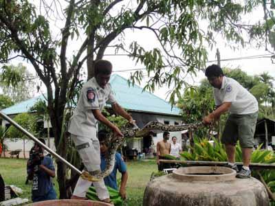 เจ้าหน้าที่มูลนิธิกู้ภัยเต๊งก่า จีสิ่งเกาะ ช่วยกันจับงูเหลือมขนาดใหญ่ ยาวประมาณ 4 เมตร ซึ่งออกอาละวาดขโมยกินไก่ชาวบ้านในชุมชนสุขสวัสดิ์ เขตเทศบาลเมืองกาฬสินธุ์ คาดว่าน่าจะเกิดจากหลายพื้นที่ในจังหวัดกาฬสินธุ์กำลังประสบปัญหาภัยแล้ง แหล่งน้ำแห้งต่างๆแห้งขอดส่งผลกุ้ง หอย ปู ปลาตายและเหลือน้อย ทำให้งูเหลือมที่อาศัยอยู่ตามธรรมชาติหากินลำบากและเริ่มขาดอาหาร