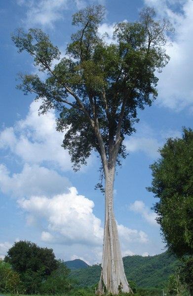 ต้นผึ้งต้นใหญ่ ได้ชื่อว่าเป็น พญาไม้