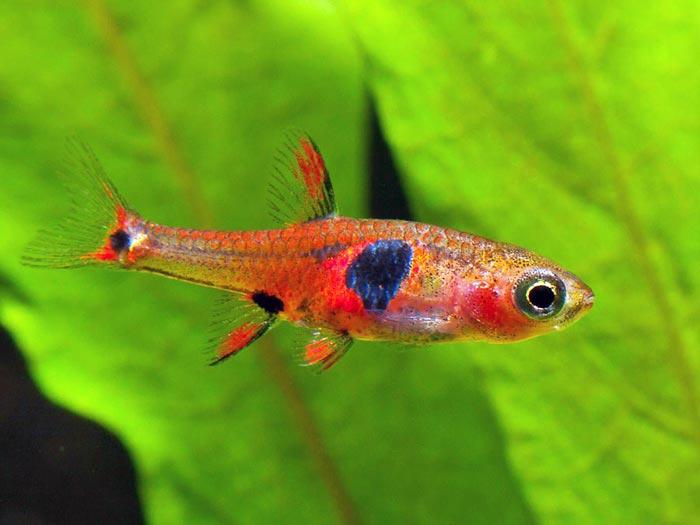 ปลา <I>Borarus naevus</I>