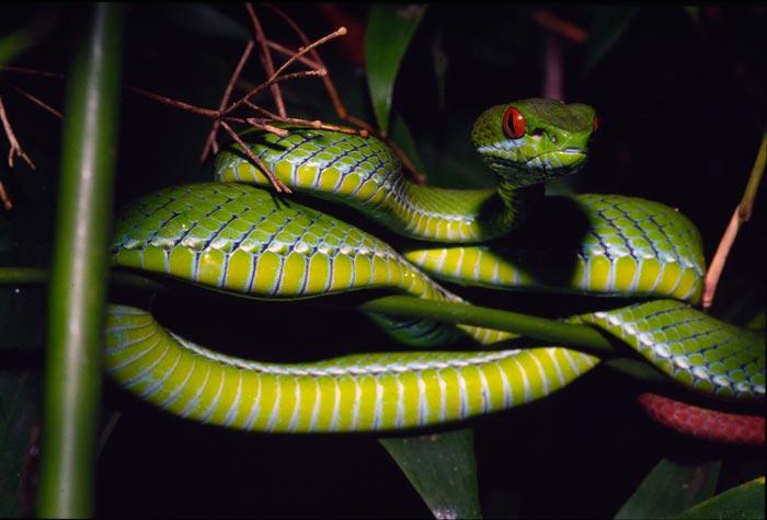 งูเขียวหางไหม้ตาทับทิม <I>Trimeresurus rubeus</I>