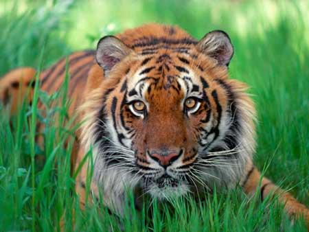 """""""เสือโคร่ง""""หรือเสือลายพาดกลอน ที่มักถูกกล่าวว่าเป็นเสือสมิงในรูปลักษณ์ของเสือ"""