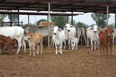 ปศุสัตว์ จ.บุรีรัมย์สำรองฟางอัดฟ่อน 40 ตัน ไว้แจกจ่ายช่วยเกษตรกรผู้เลี้ยงโค-กระบือที่ประสบปัญหาขาดแคลนหญ้าอาหารสัตว์ช่วงหน้าแล้งปีนี้