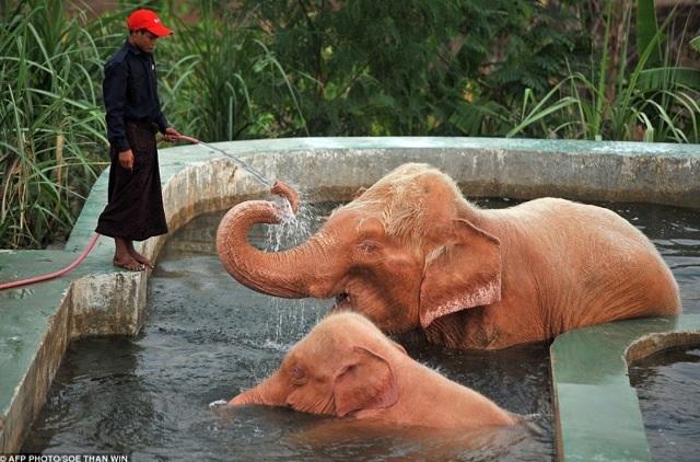 ช้างเผือกในพม่า ตอนนี้ที่ออกสื่ออย่างเปิดเผยมี 8 ช้าง อยู่ที่ย่างกุ้ง 3 ช้าง และเนปิตอร์ 5 ช้าง