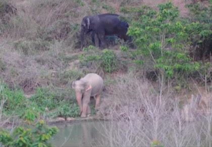ช้างที่ถูกระบุว่ามีมีลักษณะเผือก แลบันทึกภาพโดยผู้สื่อข่าว นสพ.เพชรภูมิ