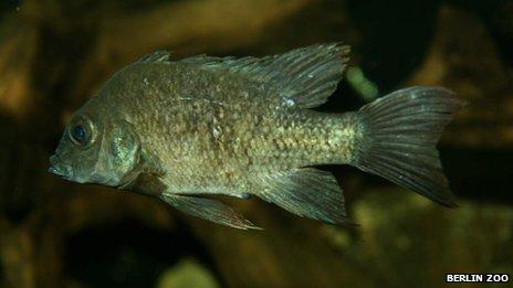 ปลาซิชลิดตัวเมียที่เป็นที่ต้องการเพื่อขยายเผ่าพันธุ์ปลาชนิดนี้ต่อไป