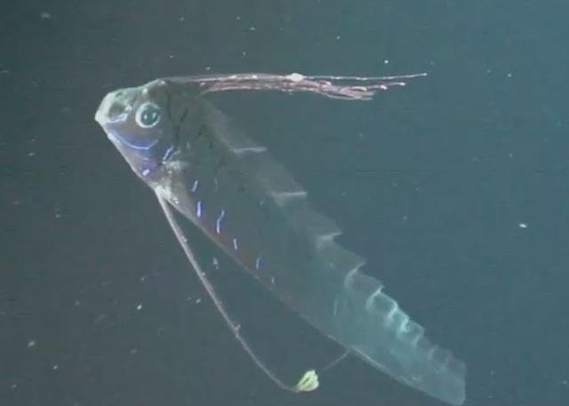 ภาพปลาออร์ฟิชจากคลิปที่บันทึกได้เมื่อ ส.ค.2011 (CREDIT: Mark Benfield / Journal of Fish Biology/ไลฟ์ไซน์)