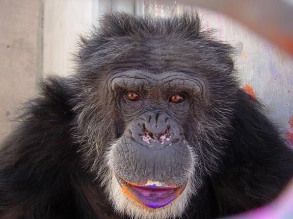 ชีตาห์ ชิมแปนซีที่คาดว่าเกิดในช่วงปี 1970 และใช้ชีวิตอยู่ลำพังในห้องทดลองนาน 13 ปี เขาถูกตัดชิ้นเนื้อไปตรวจมากกว่า 400 ครั้ง และได้รับการช่วยเหลือให้ไปพักพิงที่ศูนย์เซฟเดอะชิมป์เมื่อปี 2002 และในปีเดียวกันนั้นเองก็พบว่าเขาหลงใหลในการวาดภาพ