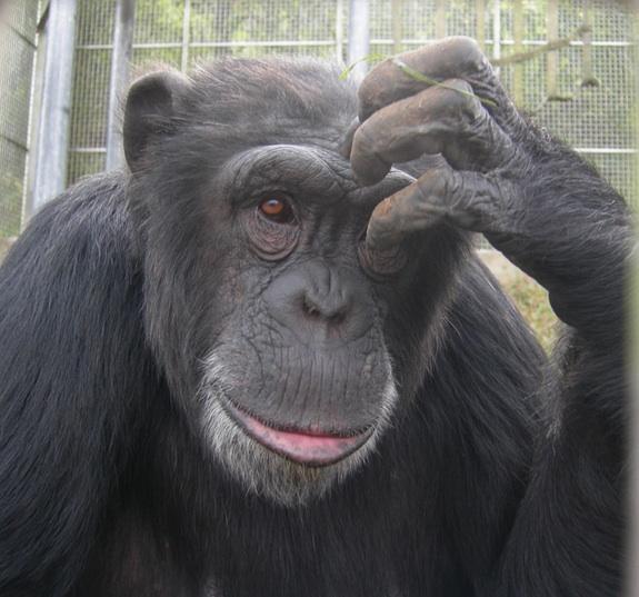 เจนนี (Jenny) เป็นชิมแปนซีที่อาศัยอยู่ในศูนย์ช่วยเหลือไพรเมท (Primate Rescue Center) ในเคนตัคกี เธอเกิดเมื่อ 19 พ.ค.1995 ที่ห้องปฏิบัติการวิจัยชีวการแพทย์ LEMSIP ในนิวยอร์ก เธอได้การช่วยเหลือจากศูนย์เมื่อปี 1996 และตอนนี้เธอใช้เวลาไปกับการเล่นกับเพื่อนชิมแปนซีอีก 10 ตัว หรืองีบหลับพร้อมของที่เธอโปรดปราน