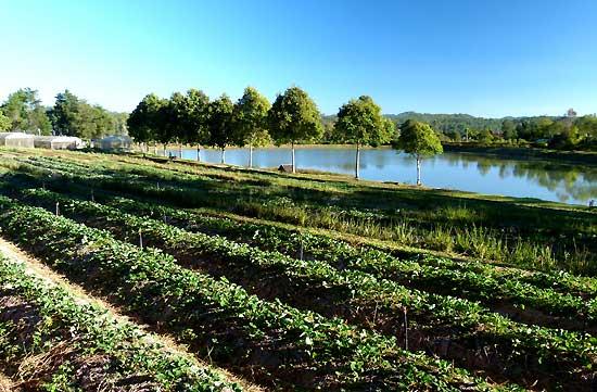 แปลงพืชผลทางการเกษตร(สตรอเบอร์รี่)ในโครงการหลวง
