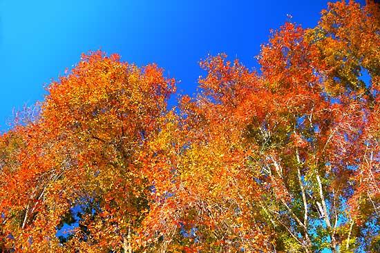 เมเปิ้ลเปลี่ยนสี ที่ อ.อ.ป. วัดจันทร์