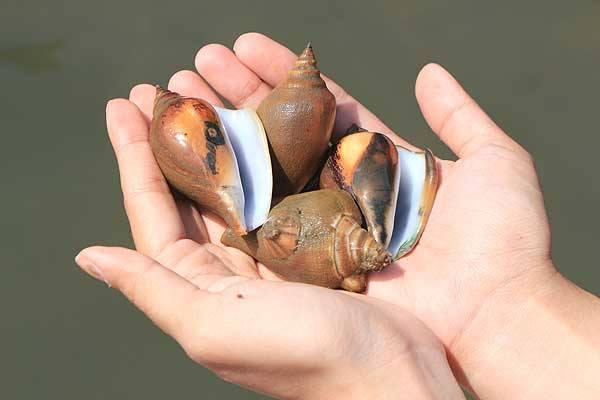 หอยชักตีนสดๆ จากทะเลกระบี่