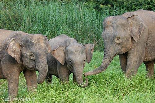 """""""ช้างแคระบอร์เนียว"""" (ภาพ : เว็บไซต์ cedeprudente.blogspot )"""