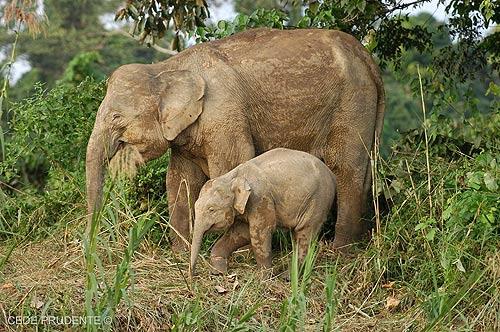 """""""ช้างแคระบอร์เนียว"""" ขนาดเล็กน่ารัก (ภาพ : เว็บไซต์ cedeprudente.blogspot )"""