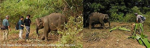 """""""ช้างแคระบอร์เนียว"""" เมื่อเทียบกับขนาดคน (ภาพ : เว็บไซต์ cedeprudente.blogspot )"""