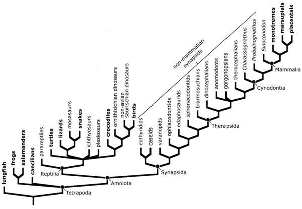 สาแหรกวิวัฒนาการของสัตว์ตั้งแต่ยุคดึกดำบรรพ์
