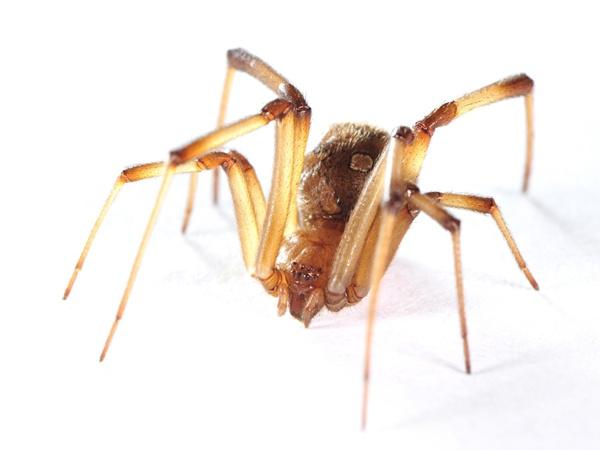 แมงมุมแม่ม่ายน้ำตาล (ภาพโดย นายฉัตรพรรษ พงษ์เจริญ)