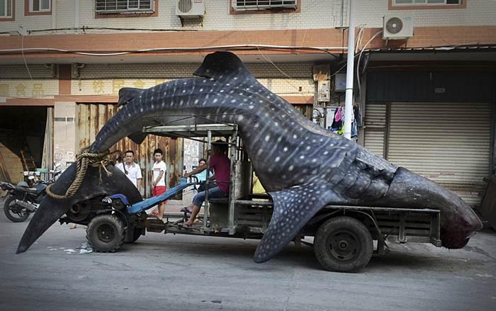 ฉลามวาฬ ยาวเกือบ 5 เมตร หนัก 2 ตัน แอบเขมือบปลาในอวน ถูกจับได้