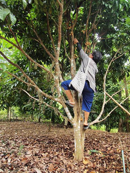 ปีนเก็บลองกองสดๆ จากต้น