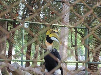 """ปล่อย """"นกเงือกหัวแรด"""" สัตว์สงวนฯ กลับสู่ธรรมชาติ พร้อมจับผู้เลี้ยงดำเนินคดีตามกฎหมาย"""