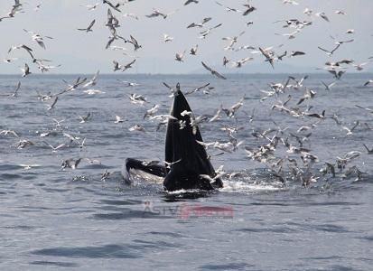 """""""วาฬบรูด้า"""" นับสิบตัวโผล่หากินหน้าหาดเจ้าสำราญ ท่องเที่ยวเริ่มคึกคัก"""