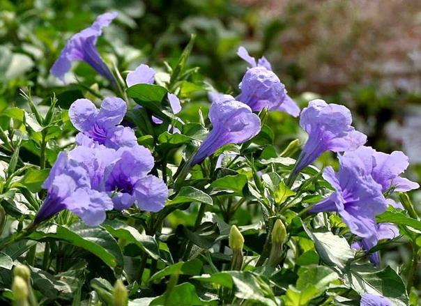 """สมุนไพรไม้เป็นยา : """"ต้อยติ่ง"""" วัชพืชดอกสวย ช่วยบรรเทาสารพิษตกค้างในปัสสาวะ"""