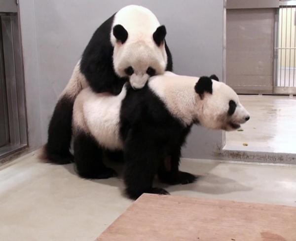 อยู่ด้วยกันจะ 8 ปี ไม่มีผลผลิตเสียที! แพนด้ายักษ์ฮ่องกงถูกส่งตัวกลับจีน เข้าคอร์สทำลูกระดับชาติ (ชมคลิป)