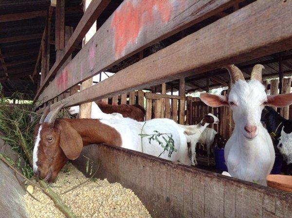 แพะในฟาร์มฮีซาดาน ซึ่งเป็นศูนย์การเรียนรู้ของกลุ่มผู้เลี้ยงสัตว์ทุ่งครุ