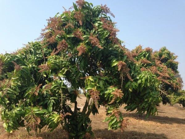 ต้นมะม่วงถูกตัดแต่งให้เป็นพุ่มเตี้ย เพื่อให้ออกดอกเยอะ มีผลผลิตมาก