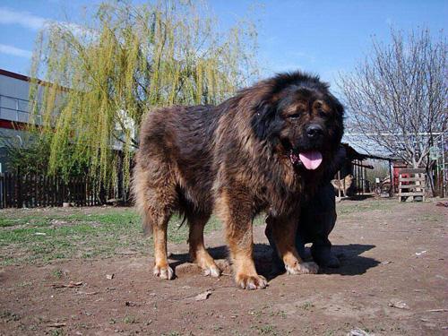 """""""คอเคเซียน เชพเพิร์ด"""" สุนัขยักษ์ราคาหลักล้าน สัตว์เลี้ยงเอาใจเศรษฐีกระเป๋าหนัก"""