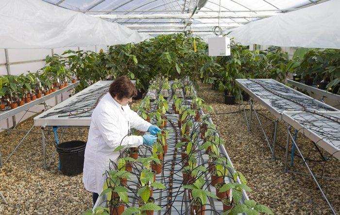 ฮีเตอร์ เลก ตรวจสอบใบโกโก้เพื่อหาแมลงศัตรูพืชภายในศูนย์ควบคุมโกโก้นานาชาติที่อยู่ในอังกฤษ (AFP PHOTO / JUSTIN TALLIS)