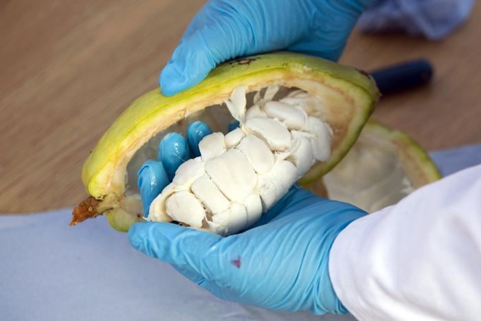 ฮีเตอร์ เลก นำเมล็ดโกโก้ออกจากฝัก ซึ่งเป็นผลผลิตภายในศูนย์ควบคุมโกโก้ (AFP PHOTO / JUSTIN TALLIS)