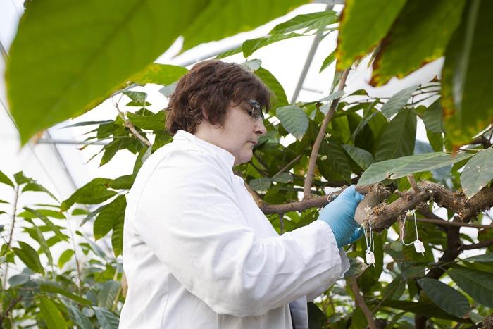 ฮีเตอร์ เลก ผสมเกสรดอกโกโก้ภายในศูนย์ควบคุมโกโก้นานาชาติที่อยู่ในอังกฤษ (AFP PHOTO / JUSTIN TALLIS)