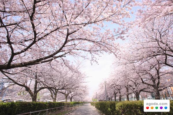 อโกด้า (Agoda) จัดที่พักราคาพิเศษ ต้อนรับเทศการซากุระที่ญี่ปุ่น