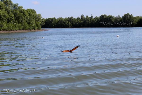 นกอินทรีย์บินโฉบอาหารจากพื้นผิวน้ำ