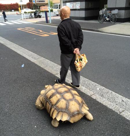 """คนโตเกียวฮือฮา คุณลุงพา """"เต่ายักษ์"""" ไปเดินเล่น"""