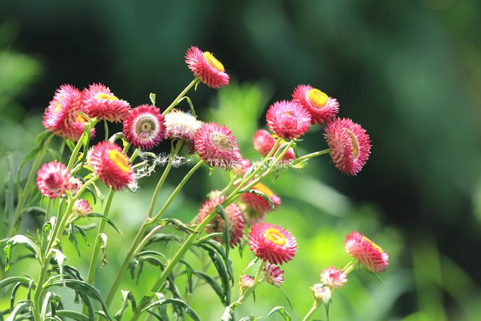 โครงการพัฒนาป่าไม้ตามแนวพระราชดำริภูหินร่องกล้า ในช่วงเดือน ต.ค.-ก.พ.จะมีทุ่งดอกกระดาษออกดอกสวยงาม